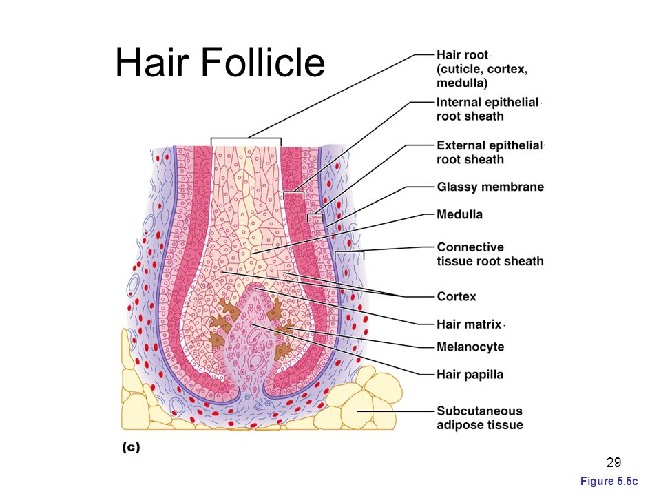 Hair Follicle Figure 5.5c