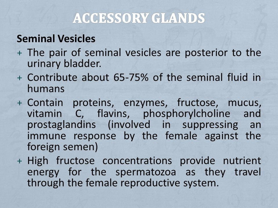 Accessory Glands Seminal Vesicles