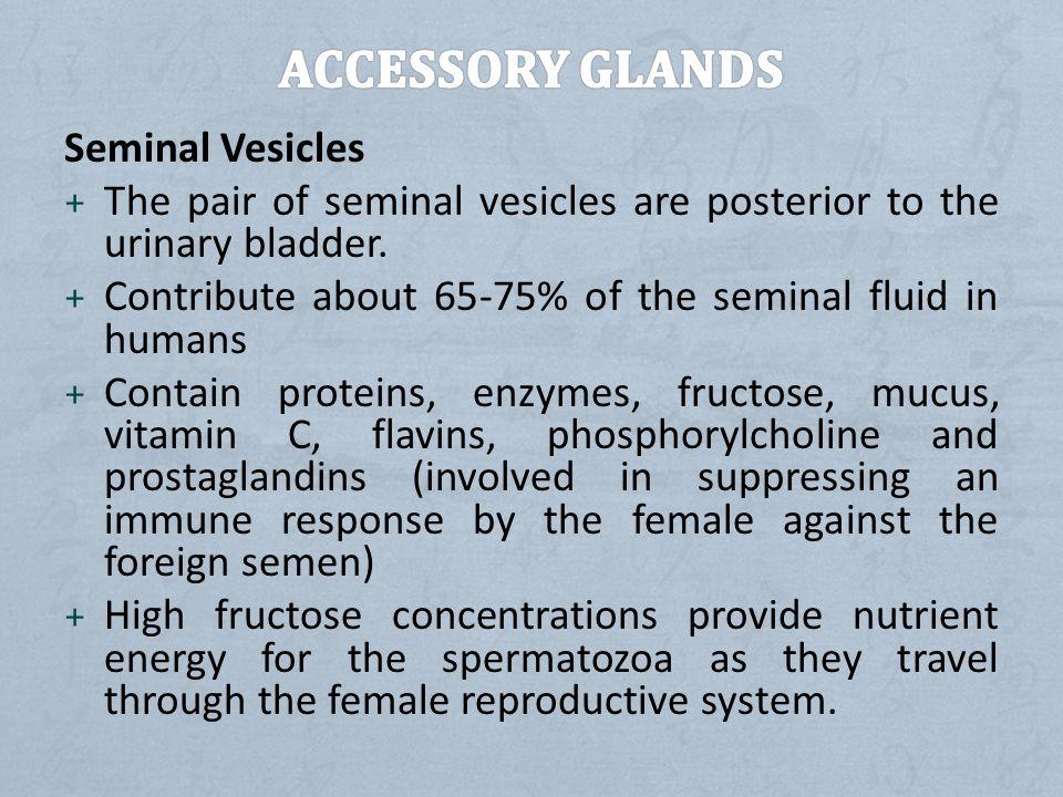 Accessory Glands Seminal Vesicles