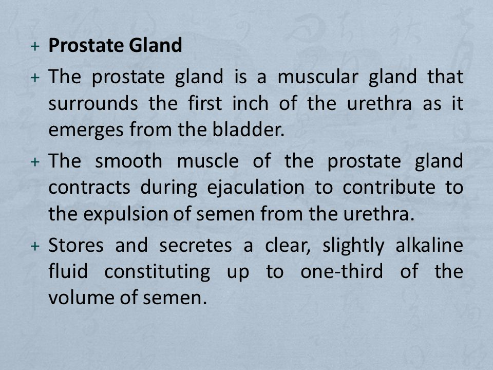 Prostate Gland The prostate gland is a muscular gland that surrounds the first inch of the urethra as it emerges from the bladder.
