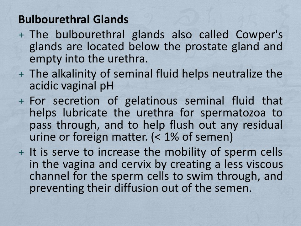 Bulbourethral Glands The bulbourethral glands also called Cowper s glands are located below the prostate gland and empty into the urethra.