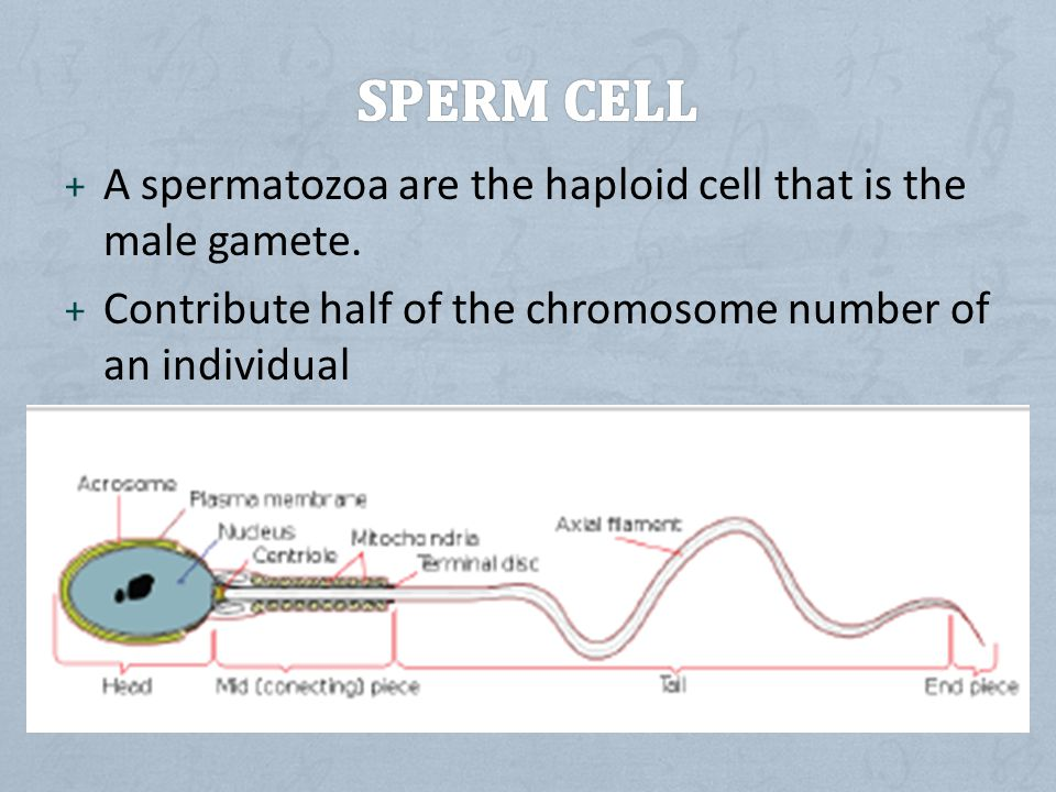 Sperm cell A spermatozoa are the haploid cell that is the male gamete.