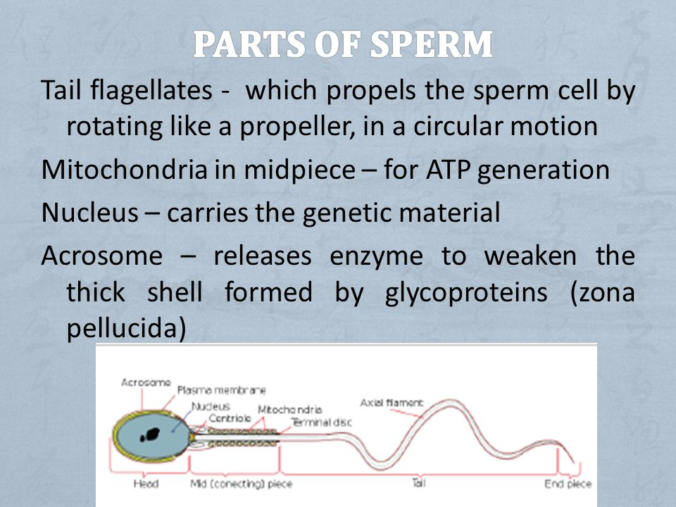 Can find parts of the sperm cell ended