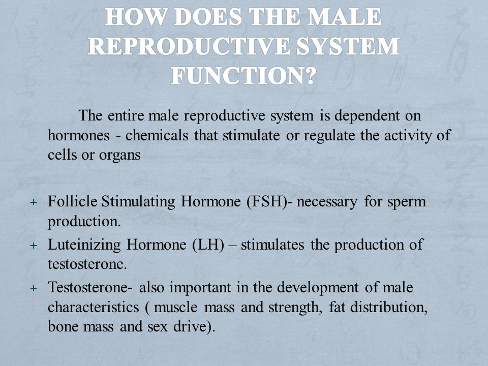 How does the male reproductive system function