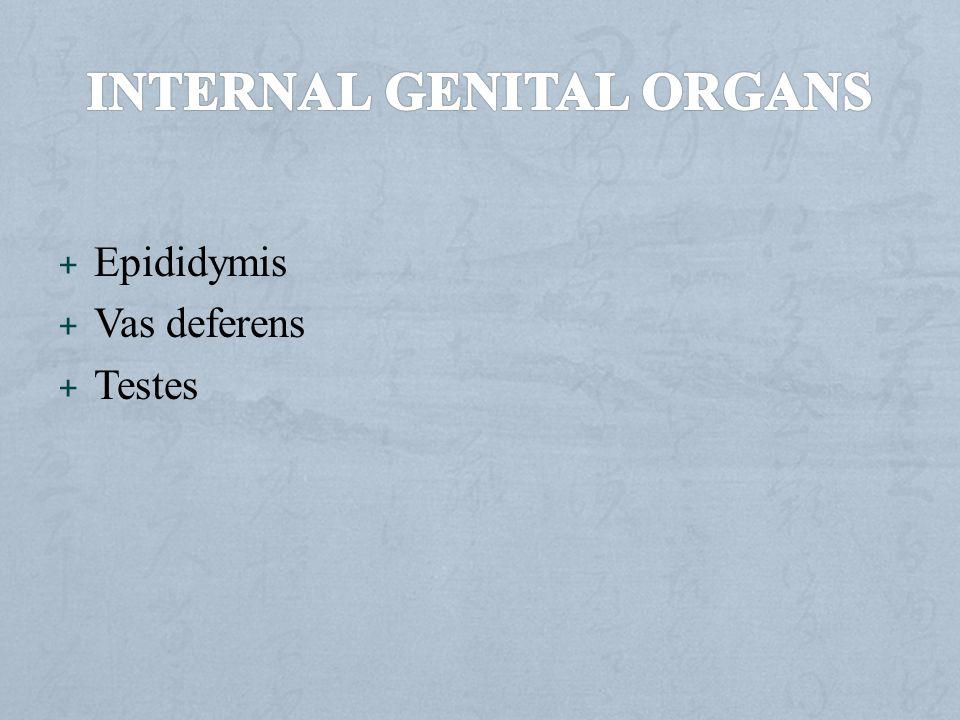 Internal genital organs