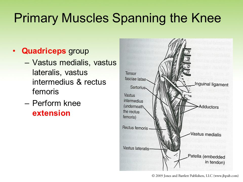 Primary Muscles Spanning the Knee