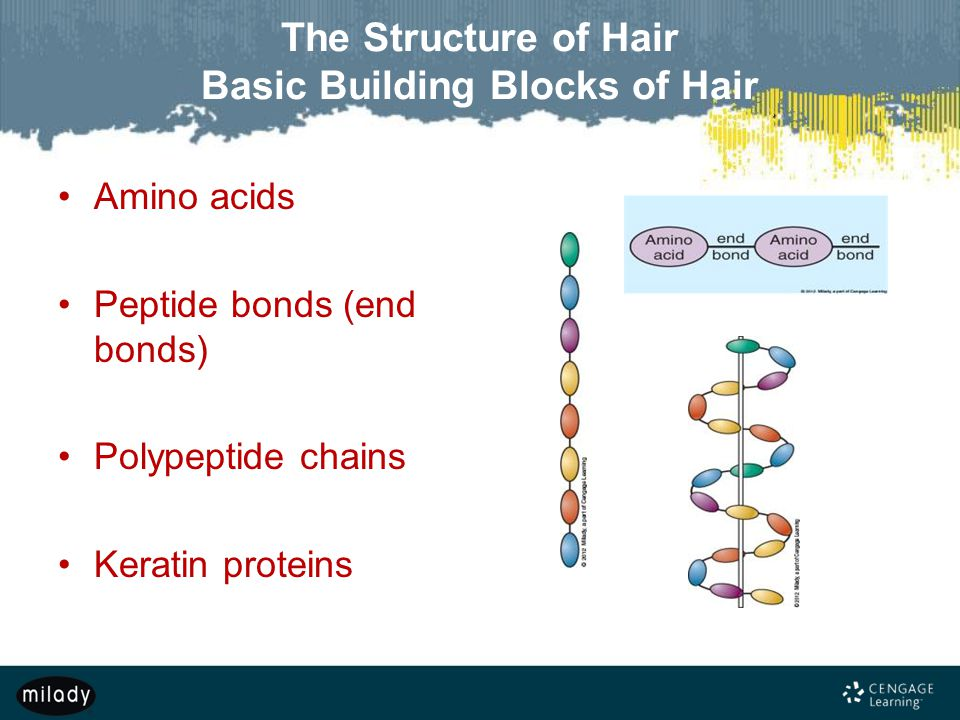 The Structure of Hair Basic Building Blocks of Hair