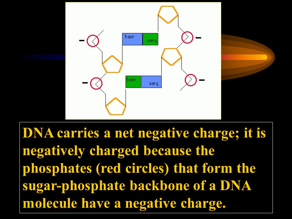 DNA carries a net negative charge; it is negatively charged because the phosphates (red circles) that form the sugar-phosphate backbone of a DNA molecule have a negative charge.