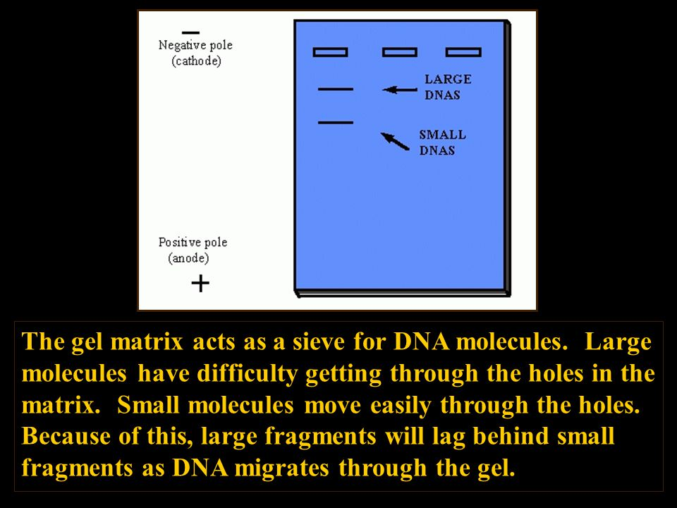 The gel matrix acts as a sieve for DNA molecules