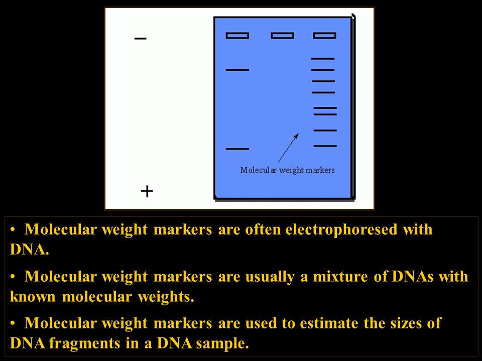 Molecular weight markers are often electrophoresed with DNA.