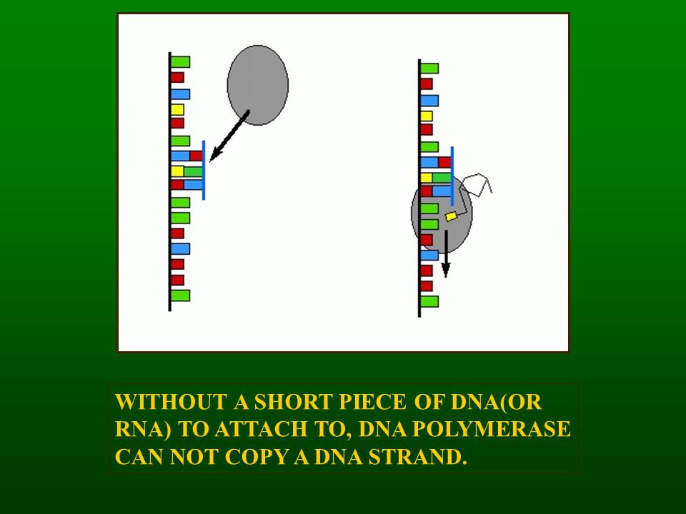 WITHOUT A SHORT PIECE OF DNA(OR RNA) TO ATTACH TO, DNA POLYMERASE CAN NOT COPY A DNA STRAND.