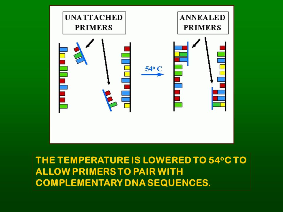 THE TEMPERATURE IS LOWERED TO 54oC TO ALLOW PRIMERS TO PAIR WITH COMPLEMENTARY DNA SEQUENCES.