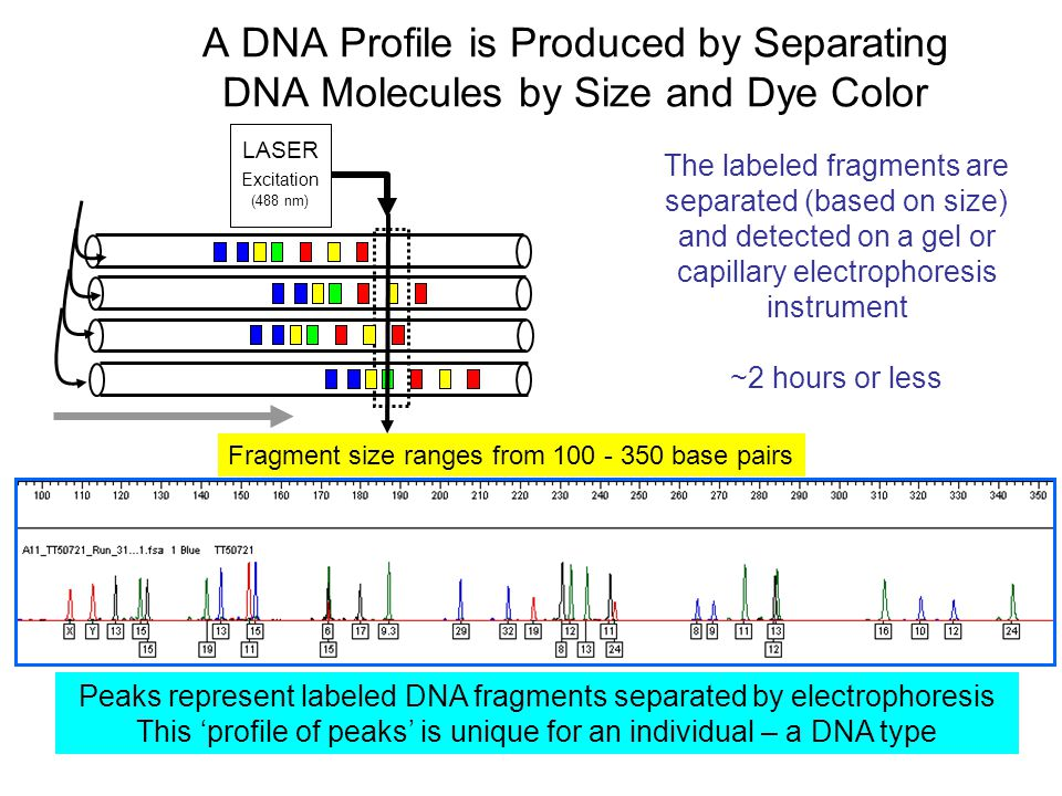 A DNA Profile is Produced by Separating DNA Molecules by Size and Dye Color
