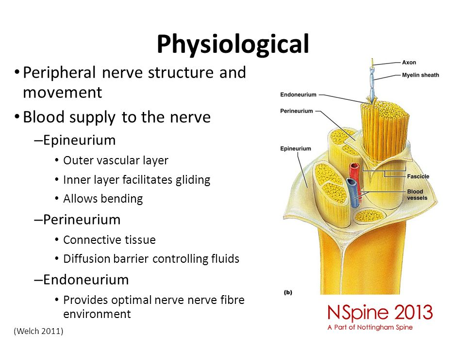 Physiological Peripheral nerve structure and movement