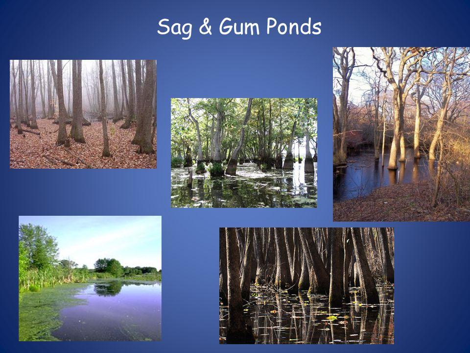 Sag & Gum Ponds