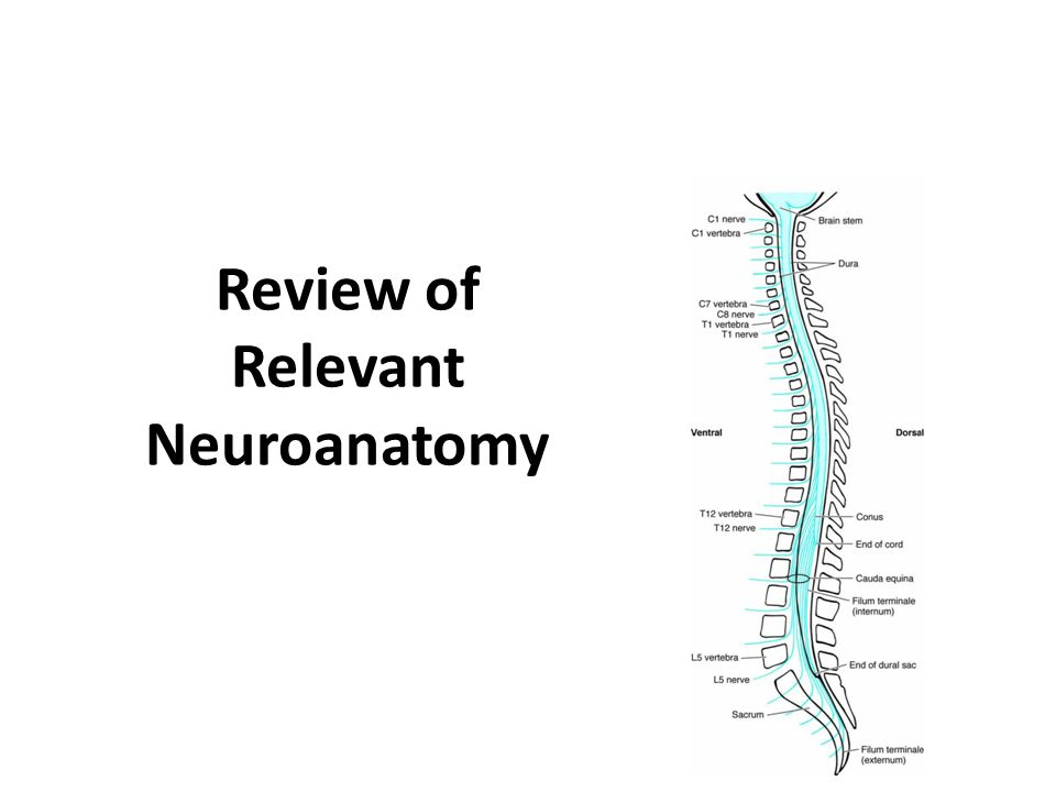 Review of Relevant Neuroanatomy