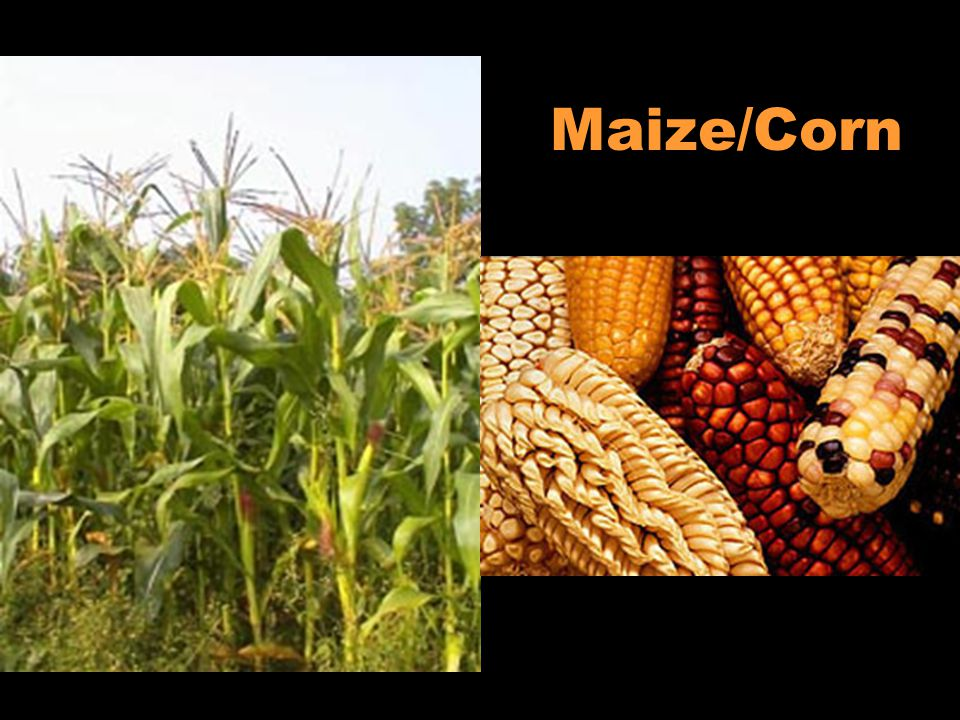The columbian exchange ppt download for African crops and slave cuisine