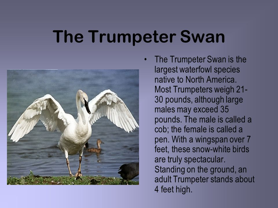 The Trumpeter Swan