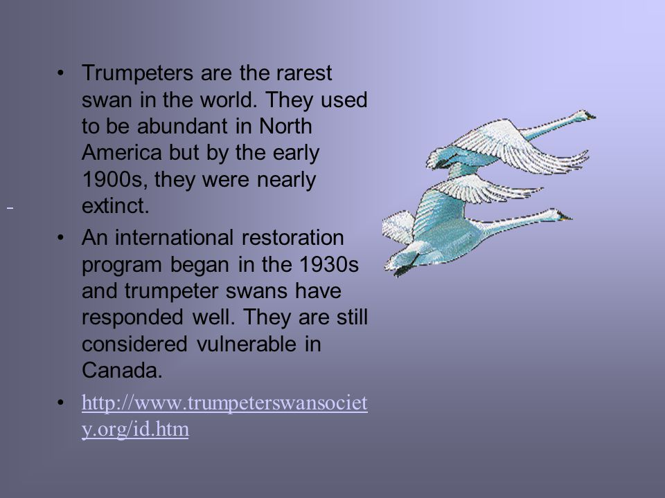 Trumpeters are the rarest swan in the world