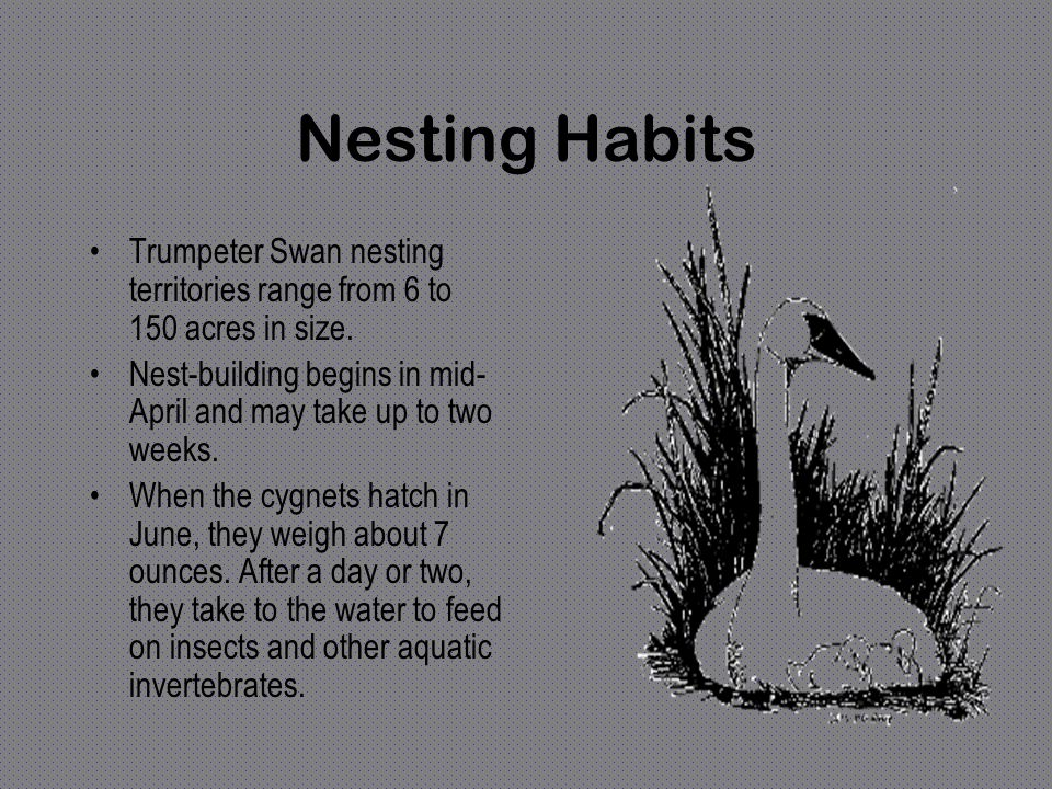 Nesting Habits Trumpeter Swan nesting territories range from 6 to 150 acres in size. Nest-building begins in mid-April and may take up to two weeks.