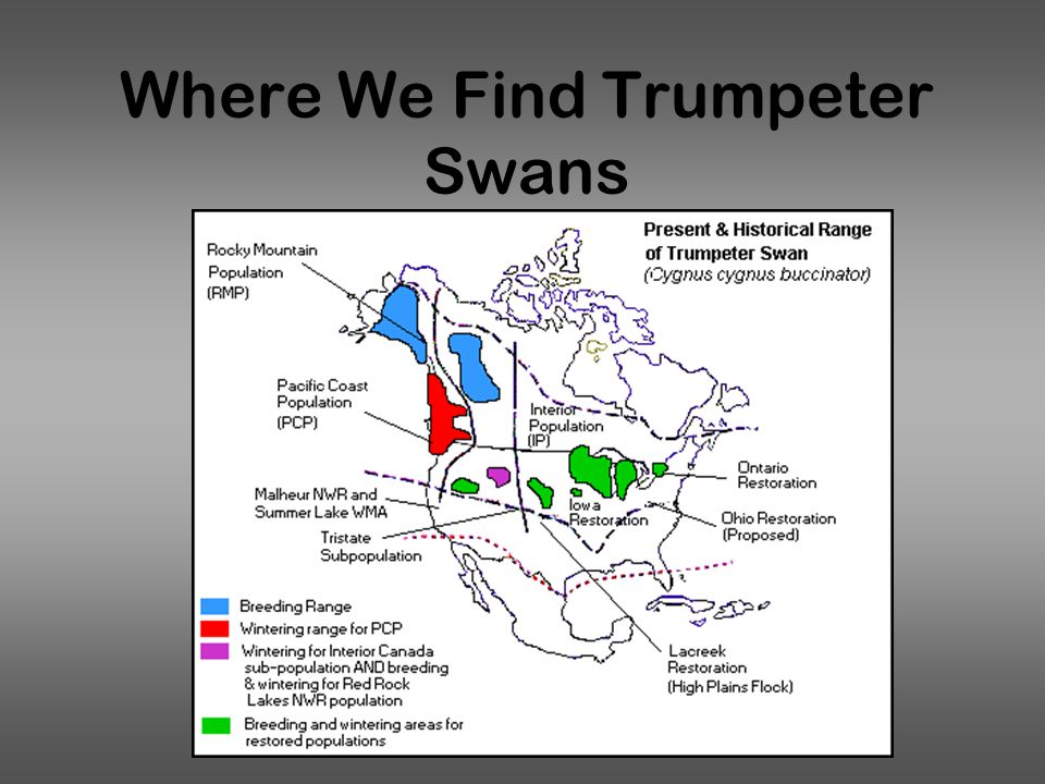 Where We Find Trumpeter Swans