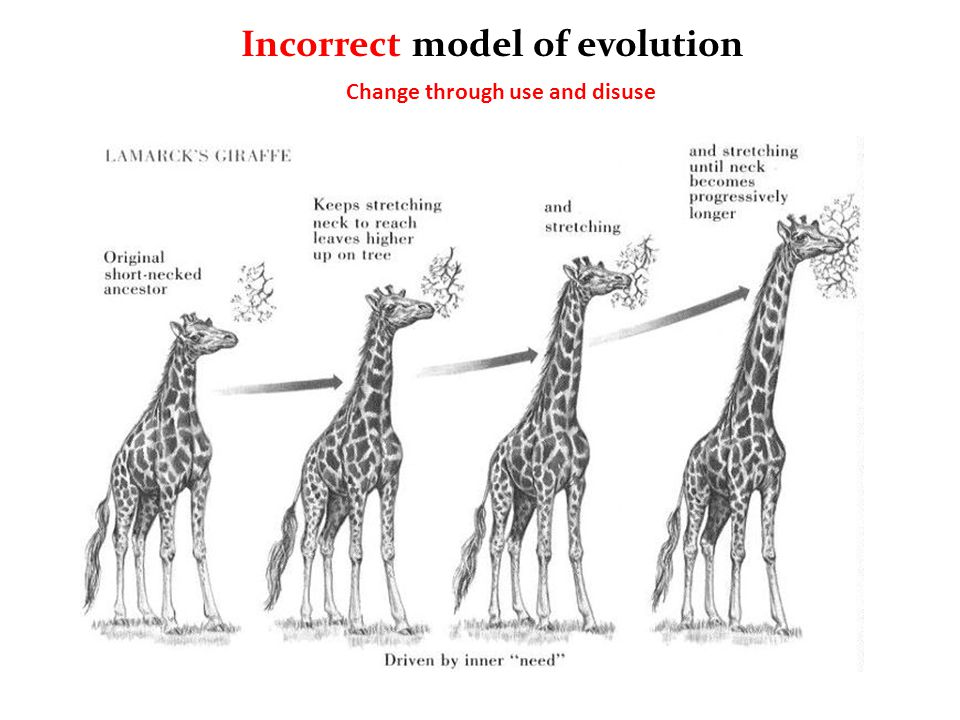 Incorrect model of evolution