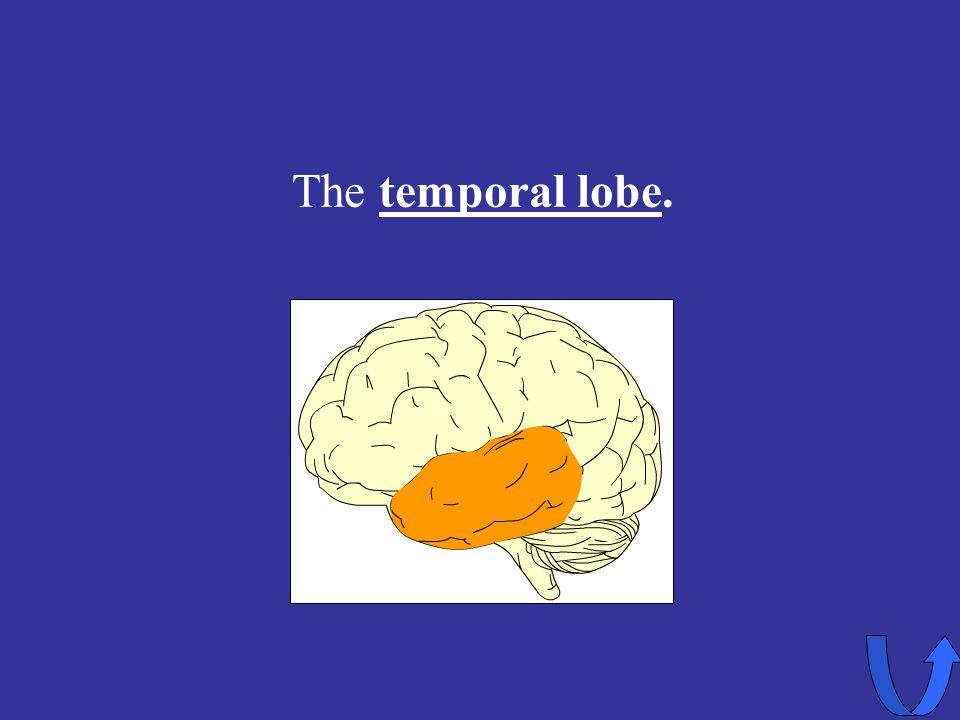 Eleanor M. Savko 4/12/2017 The temporal lobe.