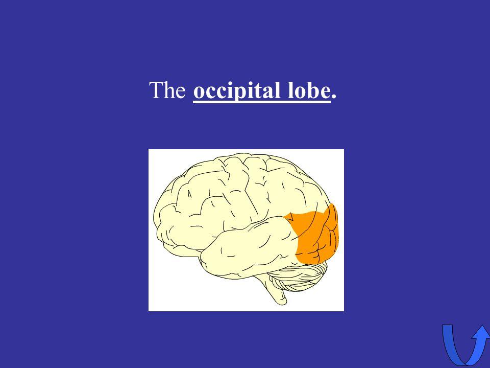 Eleanor M. Savko 4/12/2017 The occipital lobe.