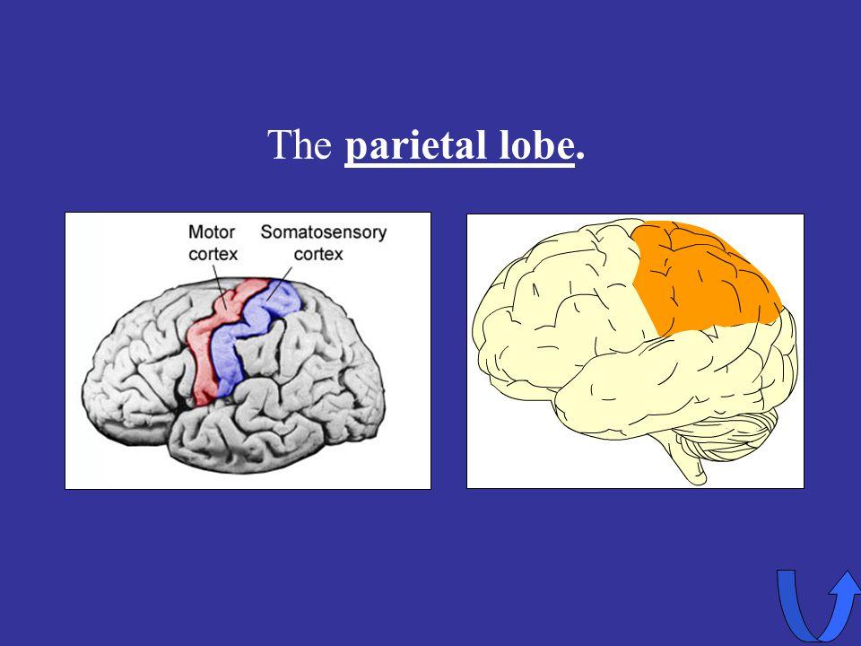 Eleanor M. Savko 4/12/2017 The parietal lobe.