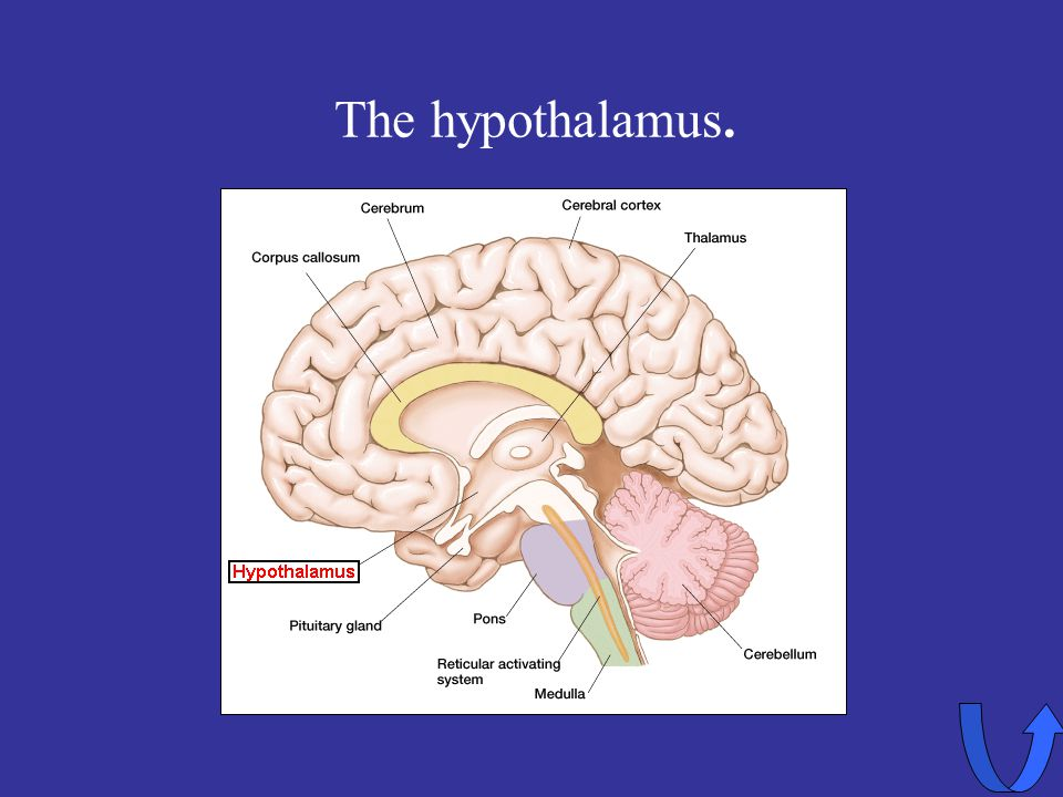 Eleanor M. Savko 4/12/2017 The hypothalamus.