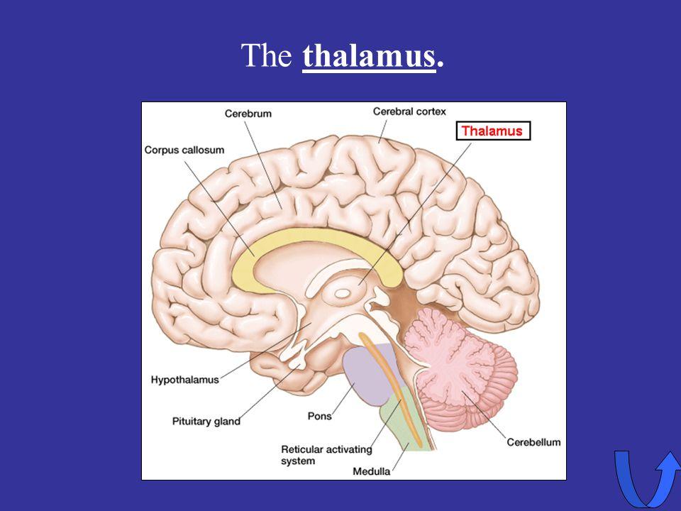 Eleanor M. Savko 4/12/2017 The thalamus.