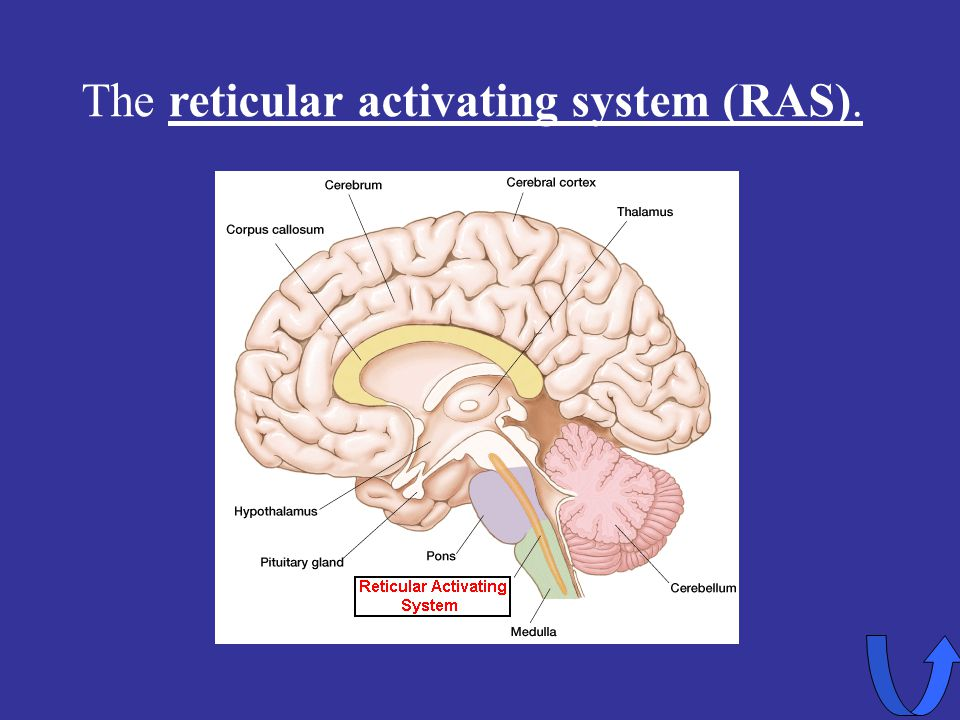 The reticular activating system (RAS).