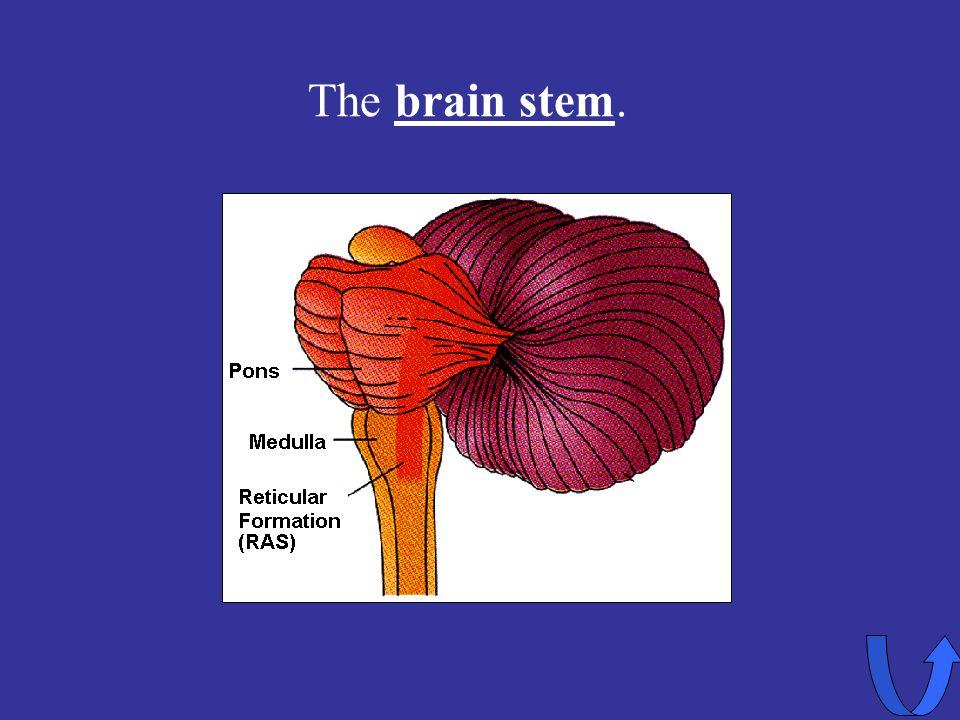 Eleanor M. Savko 4/12/2017 The brain stem.