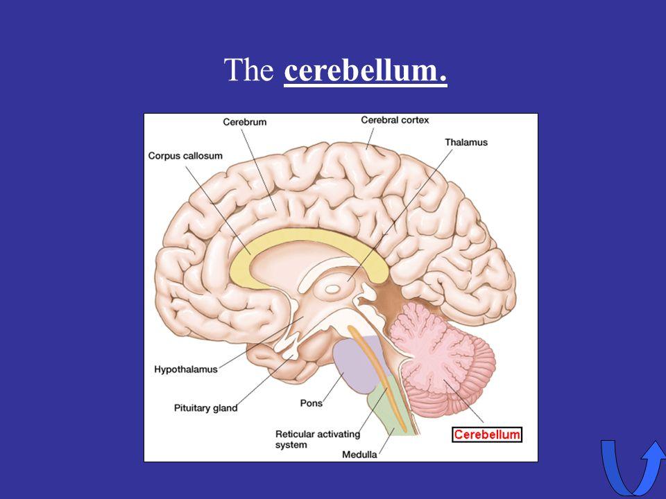 Eleanor M. Savko 4/12/2017 The cerebellum.