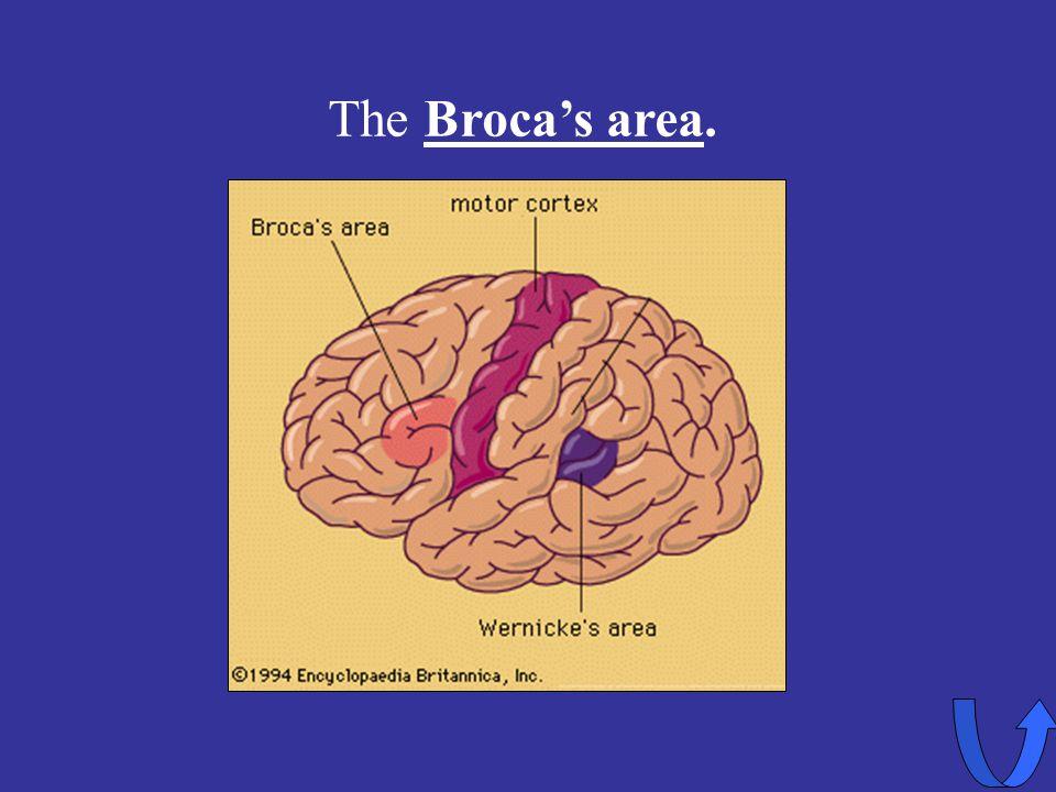 Eleanor M. Savko 4/12/2017 The Broca's area.