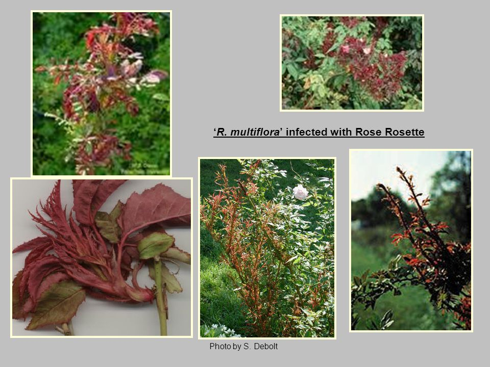 'R. multiflora' infected with Rose Rosette