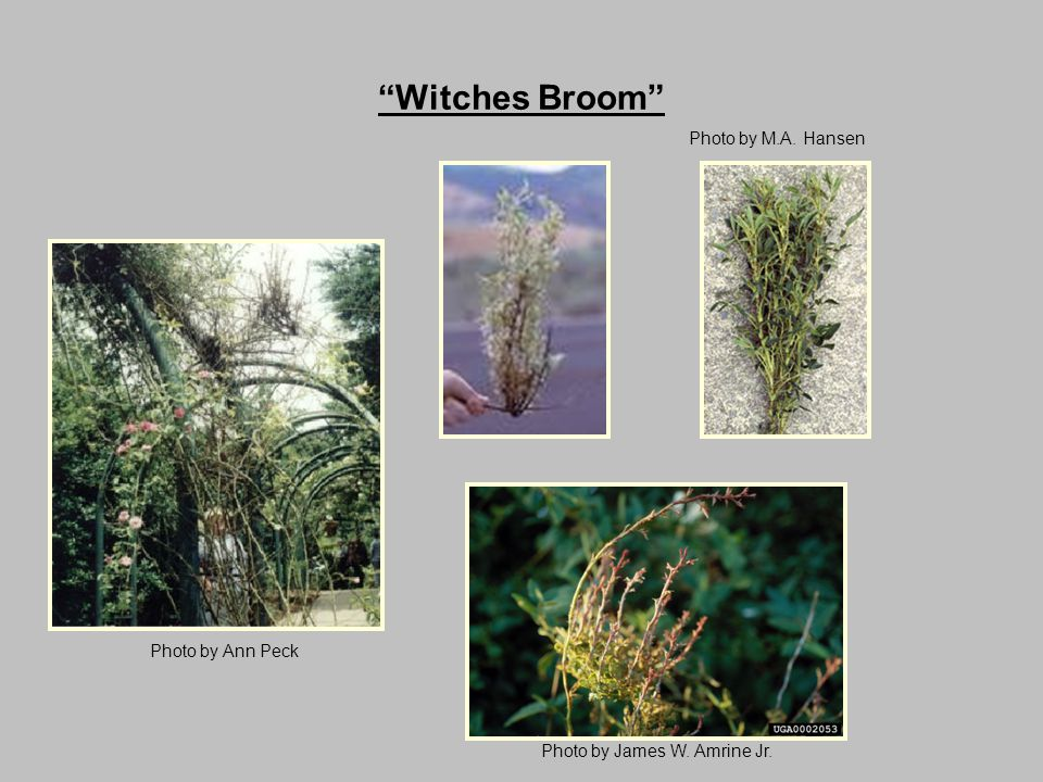 Witches Broom Photo by M.A. Hansen