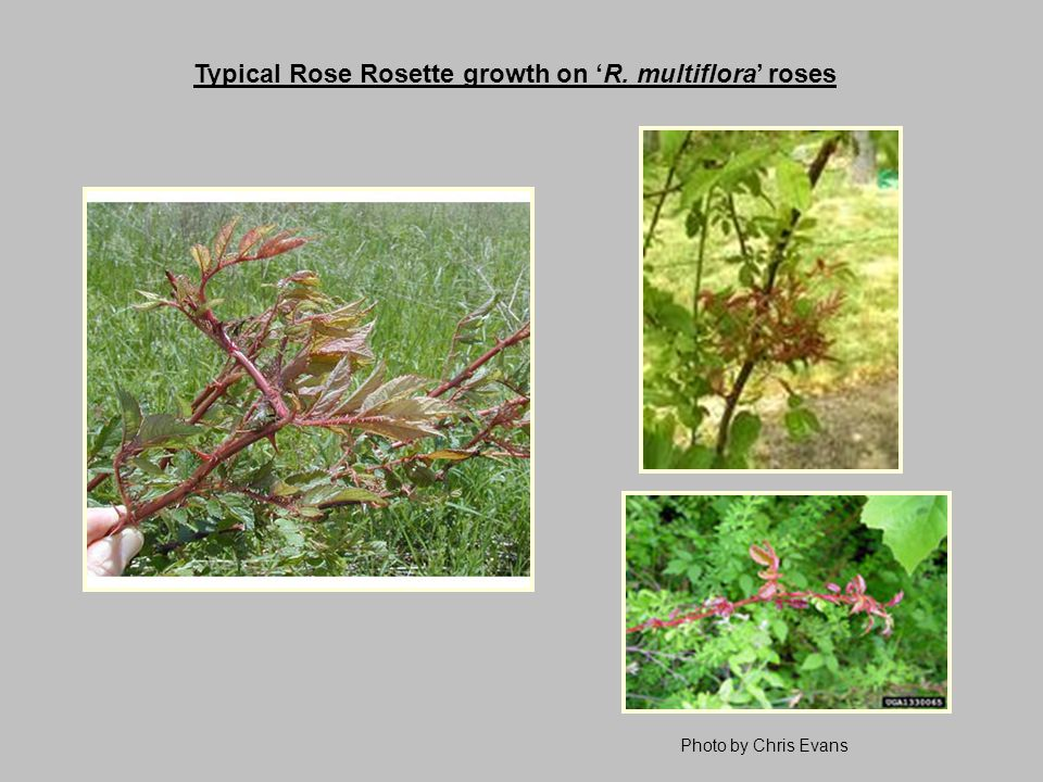 Typical Rose Rosette growth on 'R. multiflora' roses