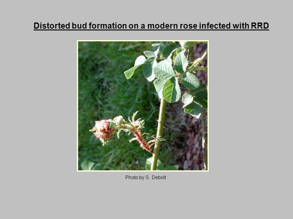 Distorted bud formation on a modern rose infected with RRD