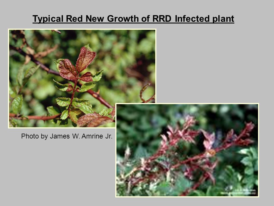 Typical Red New Growth of RRD Infected plant