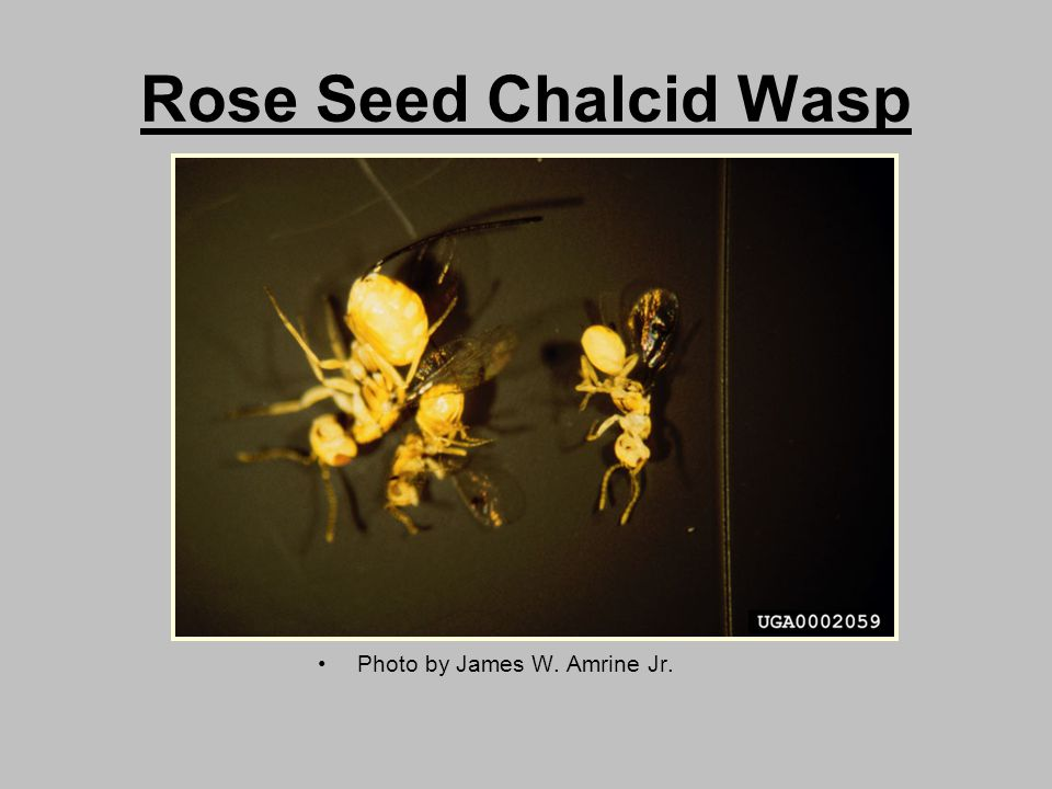 Rose Seed Chalcid Wasp Photo by James W. Amrine Jr.