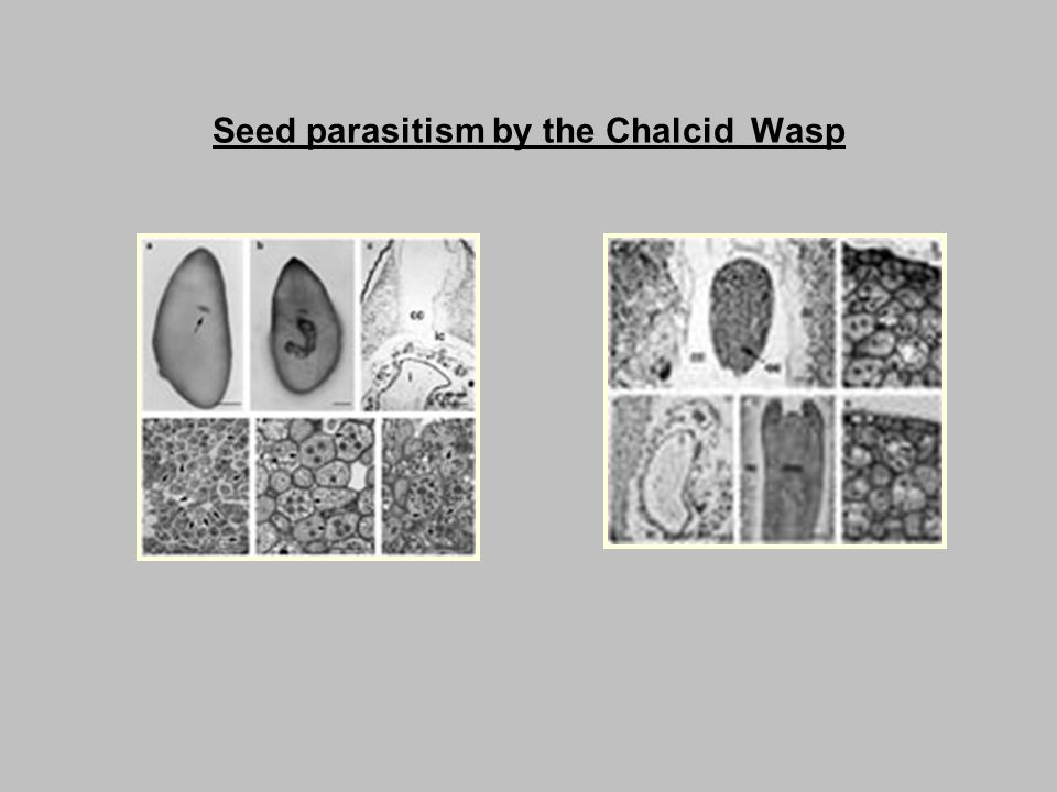 Seed parasitism by the Chalcid Wasp