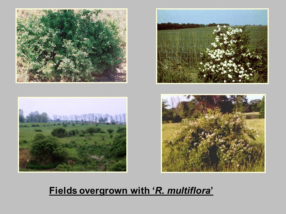Fields overgrown with 'R. multiflora'