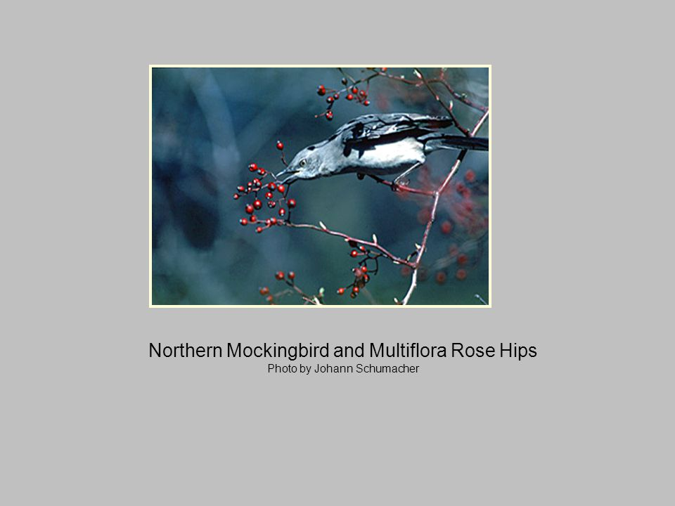 Northern Mockingbird and Multiflora Rose Hips Photo by Johann Schumacher