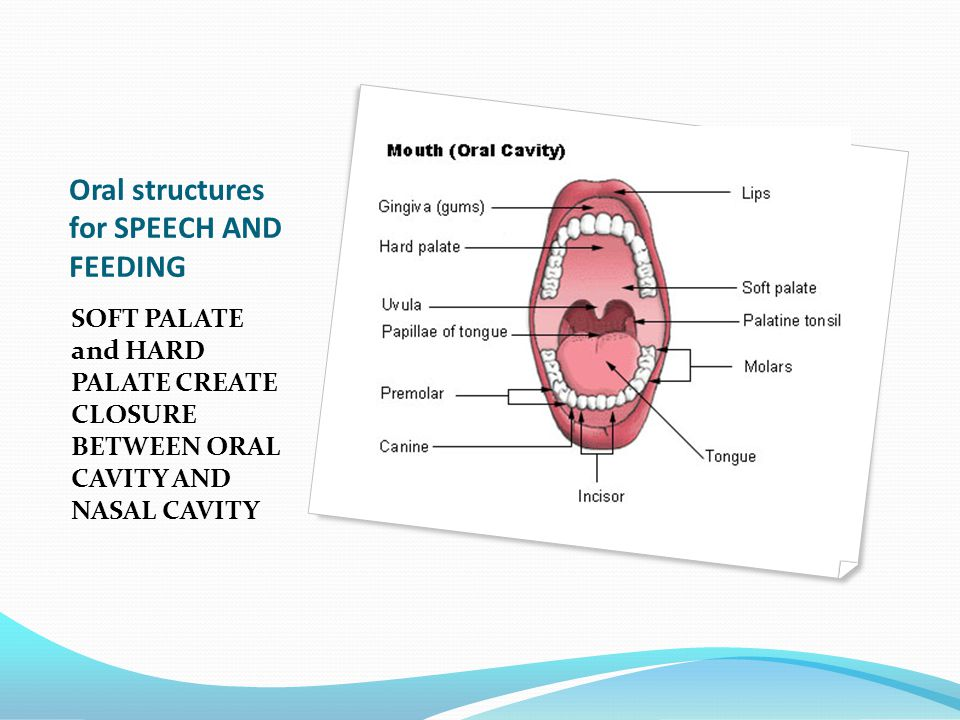 Oral structures for SPEECH AND FEEDING