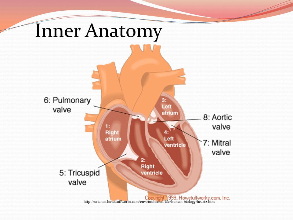 Inner Anatomy http://science.howstuffworks.com/environmental/life/human-biology/heart2.htm