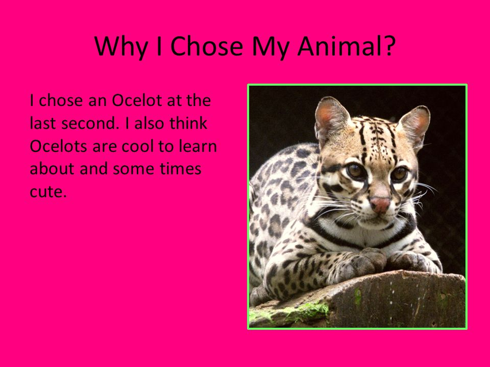 Why I Chose My Animal. I chose an Ocelot at the last second.