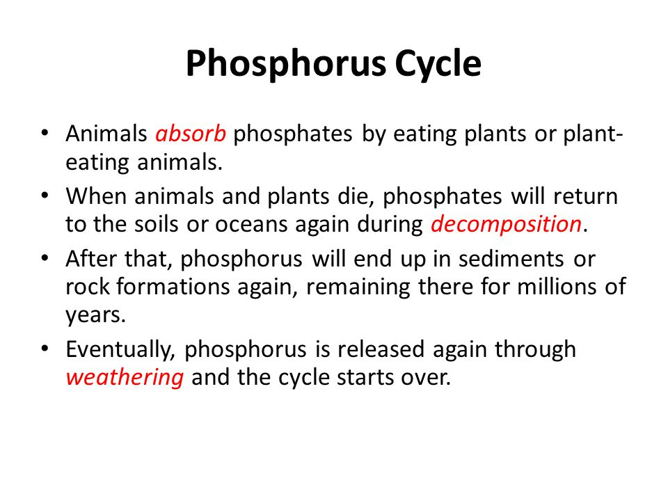 Phosphorus Cycle Animals absorb phosphates by eating plants or plant-eating animals.