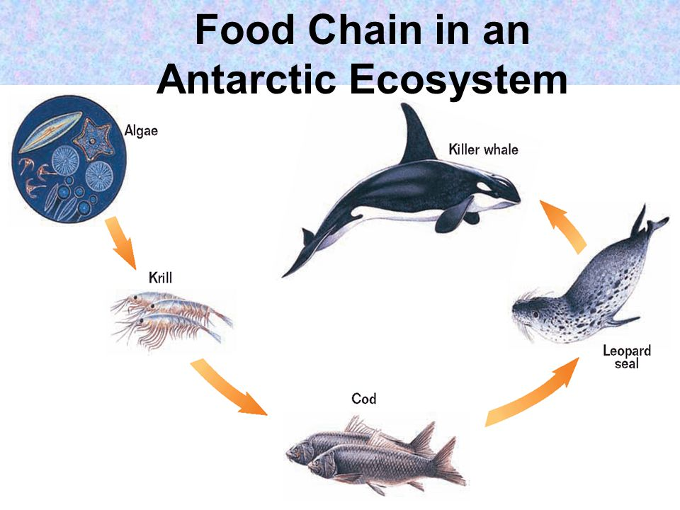 Food Chain in an Antarctic Ecosystem