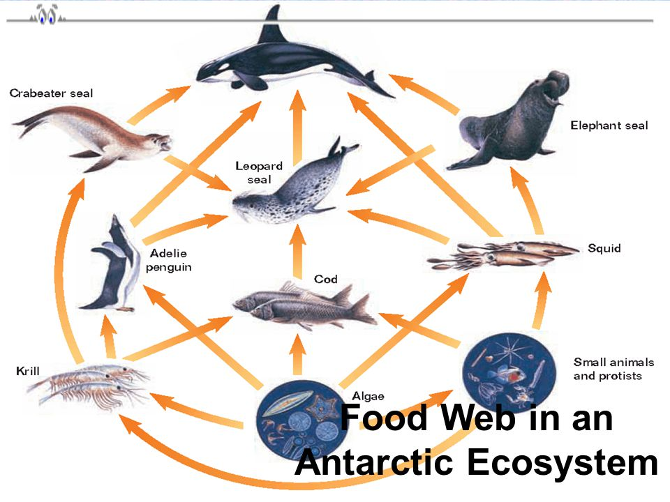 Food Web in an Antarctic Ecosystem